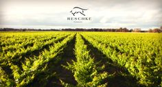 Reschke vineyard in #Coonawarra #SouthAustralia  www.reschke.com.au
