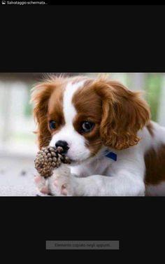 Amazing history of dog breed - Cavalier King Charles Spaniel. Diseases of Cavalier King Charles Spaniel. Cavalier King Charles Spaniel, King Charles Puppy, Rei Charles, Cute Puppies, Cute Dogs, Spaniel Puppies, Beautiful Dogs, Dog Breeds, Cute Animals