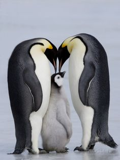 Emperor Penguin Chick and Adulta, Snow Hill Island, Weddell Sea, Antarctica, Polar Regions Photographic Print by Thorsten Milse at AllPosters.com