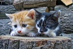 cats and kittens playing - Google Search