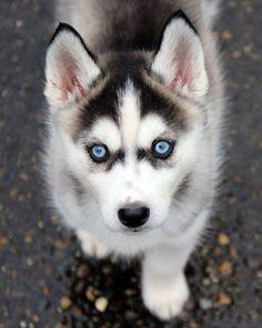 Wonderful All About The Siberian Husky Ideas. Prodigious All About The Siberian Husky Ideas. Cute Husky Puppies, Super Cute Puppies, Husky Puppy, Huskies Puppies, Baby Huskies, Mastiff Puppies, Boxer Puppies, Beautiful Dogs, Animals Beautiful