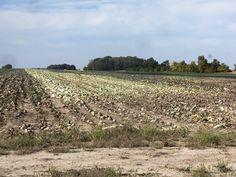 Cabbage field along 300N