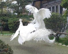 """two white peacocks fighting for dominancy."""