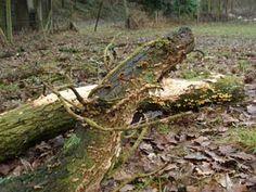 Stérée (saprophyte) sur bois mort de chêne