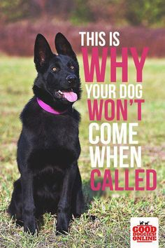 This is Why Your Dog Won't Come When Called - Good Doggies Online-- Do you call your dog and she just ignores you? Dog problems can be frustrating, so check out these easy dog training tips to get your dog to come when called and improve your dogs recall. Basic Dog Training, Training Your Puppy, Potty Training, Agility Training, Dog Agility, Training Pads, Crate Training, Dog Obedience Training, Dog Training Come