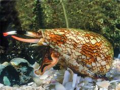 """The Geographic Cone Snail (Conus geographus) shows its siphon and proboscis. This snail is also humorously called """"the cigarette snail"""" since if one stings you, you allegedly have time for one cigarette before dying."""
