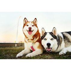 New in the life of Remi and Jaeger! siberian husky