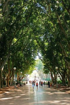 This photogenic tree lined pathway is located in Hyde Park- Top 10 things to do in Sydney park 10 Amazing Things to do in Sydney Australia Hyde Park Sydney, Sydney City, Parks In Sydney, Hyde Park London, Western Australia, Australia Travel, South Australia, Queensland Australia, Australia 2018