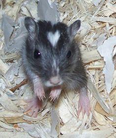Aww, cute! This gerbils got a heart shape on his head!