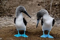 "Blauwvoetgent - Blue footed booby (Sula nebouxii) ''Toi aussi tu a les pieds bleus"" :) Animals And Pets, Funny Animals, Cute Animals, Tropical Birds, Colorful Birds, Beautiful Birds, Animals Beautiful, Booby Bird, Blue Footed Booby"