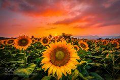 sunset sunflower by yamaely