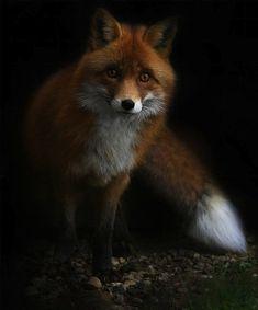 Shimmer dawn fox