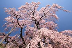 Japan cherry blossom viewing in best dates & places to see sakura in Japan - AVENUE ONE Thailand Travel, Japan Travel, Japan Trip, Dating In Japan, Places To Travel, Places To See, Weeping Cherry Tree, Shinjuku Gyoen, Cherry Blossom Season