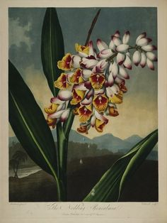 Plates from Robert Thornton's Temple of Flora (1807) | The Public Domain Review