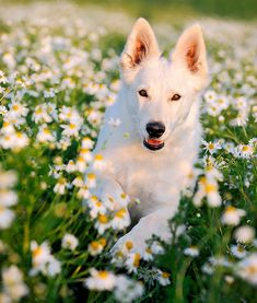 American White Shepherd.. I had a white shepherd growing up.. she was a sweetie