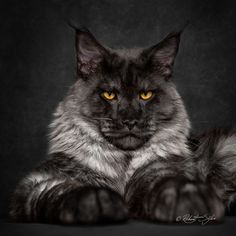 Black Smoke Maine Coon cat. - title Monday face.- by Robert Sijka