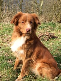 Skip - Our Nova Scotia Duck Tolling Retriever. 2.5 yrs old.~ Looks a lot like our Bingley, the 25th of January 2017 20 months old.
