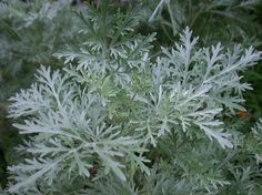 Wormwood isn't just a plant, it's an organic insect repellant. It's pungent odor is pleasant to humans, but overpowering and repelling to bugs.  The smell confuses them, and they avoid the area in which it is planted.