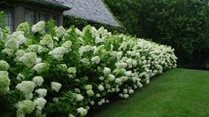 Obsession: Panicle hydrangea. No fuss, sun-loving, long-blooming. What's not to love?