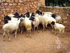.The small flock of the indigenous Namaqua Afrikaner Sheep kept at Pioneer Museum in Silverton, Pretoria .