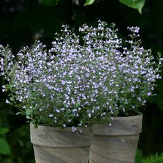 Fragrant, Easy Calamint for Garden and Planter