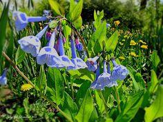 Blue bell flowers. PolkaSpot Homestead. 2013.