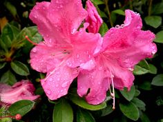 Azalea x 'Conlee'	AUTUMN AMETHYST ENCORE AZALEA	flowering evergreen	part to full sun	10 year size: 4'Hx4'W	Upright rounded	BLOOM: Dark purple 	Single	Spring & Fall	WINTER FOLIAGE: Purple	Well drained acidic soil	zone 6a