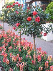 Tree Roses, Rose Standards