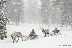 Reindeer sledges in snowstorm (Yllas, Lapland, Finland, Nordic countries, Europe - Arctic) |