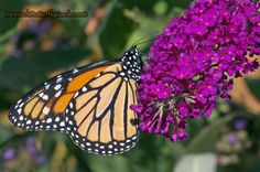 6 Top butterfly garden plants that will attract both monarchs and hummingbirds to your butterfly, hummingbird, or pollinator garden. Butterfly Bush, Butterfly Flowers, Monarch Butterfly, Butterflies, Butterfly Garden Plants, Planting Flowers, Flower Gardening, Garden Oasis, Annual Plants