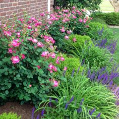 Roses, boxwoods and salvia along driveway