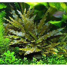 Crypt Wendtii - this plant is great for low light freshwater aquariums.