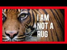 See how wildlife crime impacts tigers. Please watch and repin!