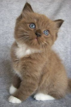 Seal Mitted Sepia Ragdoll Kitten by Cats Are Awesome
