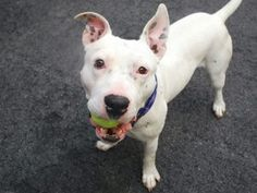 GOLEM – A1072905  **SAFER: EXPNOCHILD**  MALE, WHITE, AM PIT BULL TER MIX, 2 yrs STRAY – STRAY WAIT, NO HOLD Reason STRAY Intake condition EXAM REQ Intake Date 05/08/2016, From NY 10456, DueOut Date 05/11/2016,  Medical Behavior Evaluation YELLOW Medical Summary BARH scan negative very nervous, hyper, resisted handling dried blood seen on body, its happend due to biting catching pole no injury or wound seen hyperimic eyes and oral mucosa squinty eyes mild tartar male intact NOSF Weight 55.0