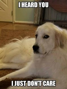 It's even a Pyrenees! Pyrenees Puppies, Great Pyrenees Puppy, Dogs And Puppies, Maremma Dog, Maremma Sheepdog, Funny Dogs, Cute Dogs, Funny Animals, Cute Animals