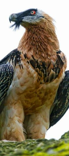 4.Bearded Vulture: