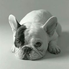 Manny the French Bulldog
