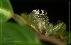 Зелени паук / Green spider by jovica