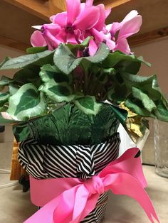 Black and white fabric wrapped clay pot with pink grosgrain ribbon and bow - cyclamen (photo taken 2 weeks after the party)