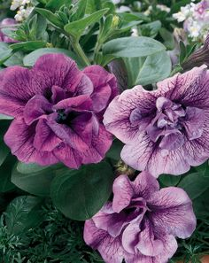 Radiant Orchid Flower Color SUPERTUNIA® PRISCILLA (Petunia) Beautiful Supertunia ® doubles are twice as ruffled and extremely colorful.  The huge flowers and vigorous habit turn containers into garden masterpieces. #ProvenWinners http://emfl.us/0SGd
