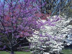 Redbud trees and Dogwood trees blooming in the spring.