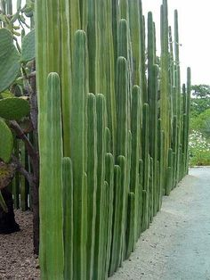 A Organ Pipe Cactus Wall: an elegant wall for a desert garden. This looks to be Organ Pipe Cactus (Lemaireocereus marinates) and a little research shows that it has often been used for natural fencing in the past. Someone else has commented that this is a Landscape Design, Garden Design, Desert Landscape, Desert Plants, Gardening In The Desert, Arizona Gardening, Cactus Y Suculentas, Cacti And Succulents, Cacti Garden
