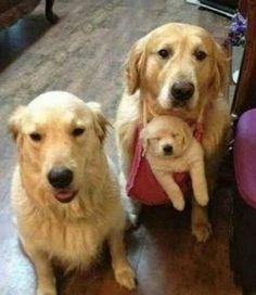 """Golden Retrievers - """"Golden Family Values"""""""