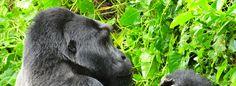 Uganda gorilla safaris to Bwindi