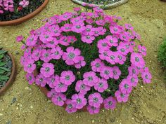 Alpine plants for a rockery - Dianthus 'Inshriach Dazzl'. (****Taproots stout, rhizomes (when present) slender or stout.)