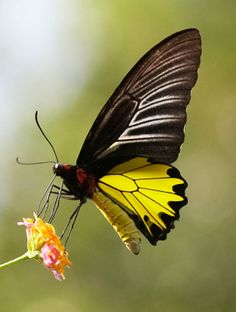 The Common Birdwing (Troides helena) is a beautiful and large butterfly belonging to the Swallowtail (Papilionidae family).