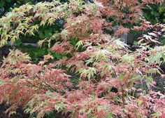 jp-Beni-Beni schichihenge – This variety is a variegated leaf with cream, green and pink, and turns to an orange golden in the fall. To 8 feet, and tolerates hot temperatures better than most. Landscaping Plants, Front Yard Landscaping, Garden Trees, Garden Plants, Utah Climate, Container Gardening, Gardening Tips, Japanese Maple Varieties, Outside Plants