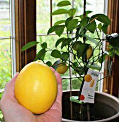 Citrus Tree Houseplant Care: How To Grow Citrus Indoors