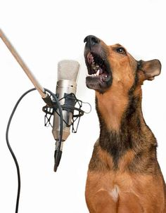 German Shepherd singing You Ain't Nothing But A Hound Dog